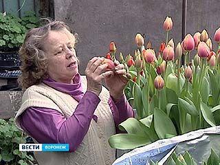 В ботаническом саду ВГУ испытывают новые сорта тюльпанов