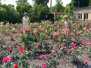 В Ботаническом саду ВГУ начался сезон бурного цветения роз