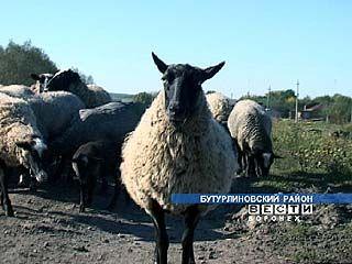 В Бутурлиновском районе разводят овец романовской породы