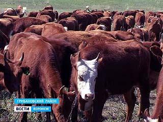 В Грибановском районе разводят калмыцкую породу коров