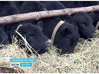 В Калачеевском районе будут разводить ценную мясную породу коров
