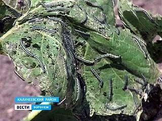 """В Кантемировке, Богучаре, Калаче, Петропавловке и Воробьёвке объявили """"войну"""" луговому мотыльку"""