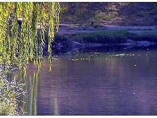 В лебедином озере Воронежа победить тину так и не удалось