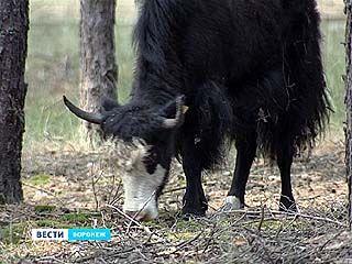 В лесах за Масловкой теперь живут яки