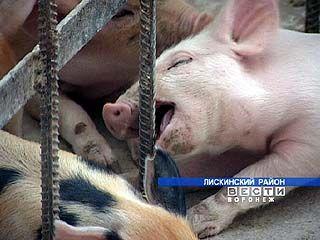 В Лискинском районе успешно развивается животноводство