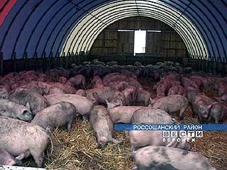 В Нижнедевицке строится новый свиноводческий комплекс