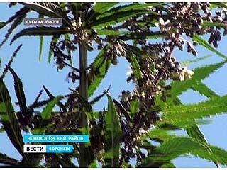 В Новохоперском районе коноплю выращивали в промышленных масштабах