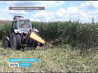 В Новохоперском районе наркополицейские уничтожили поле конопли