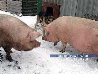 В Новохоперском районе свиней разводят ради сохранения генофонда