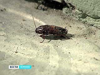 В одном из воронежских домов появились гигантские тараканы