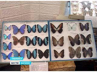 В Павловском краеведческом музее открылась большая выставка насекомых