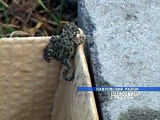 В Павловском районе нашествие земляных жаб