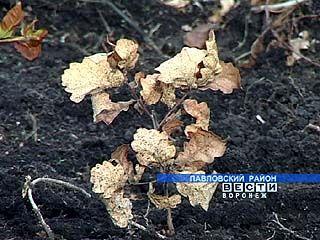В Павловском районе пропали почти все посадки дуба