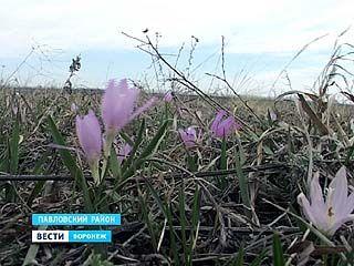 В Павловском районе распустилась брандушка разноцветная