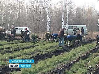 В Павловском районе саженцы - на вес золота