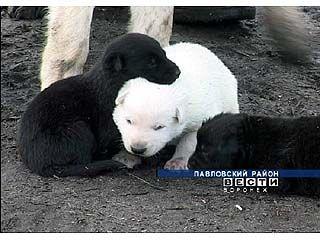 В Павловском районе у восточно-европейской овчарки появился белый щенок