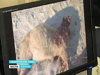 В Подгоренском районе неизвестное животное нападает на домашний скот