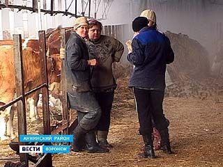 В поселке Дерябкино Аннинского района вдвое уменьшилось поголовье коров
