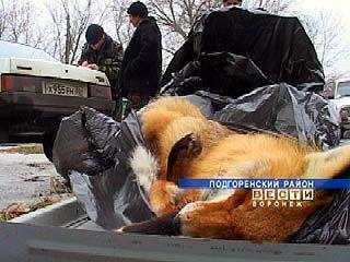 В районах Воронежской области начался отстрел красной лисицы