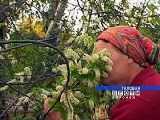 В разгар осени в Абрамовке зацвела черемуха