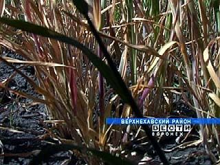 В Россошанском районе погибли яровые сельхозкультуры