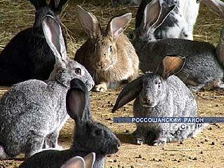 В Россошанском районе успешно разводят кроликов