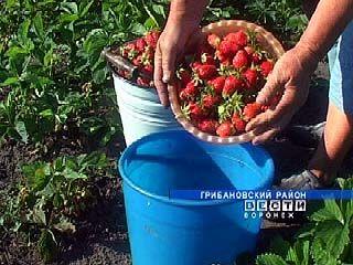 В селе Красовка Грибановского района уродился небывалый урожай клубники