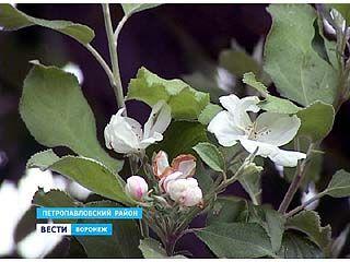 В селе старая Криуша зацвела яблоня