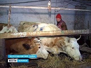 """В сельхозартели """"Старокриушанская"""" коровы умирают от голода"""