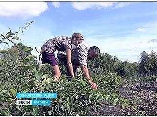 В Семилуках готовятся собрать необычный для области урожай киви