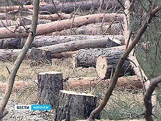 В Северном микрорайоне неизвестные срубили более 140 сосен