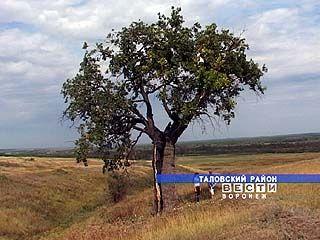 В Таловском районе есть уникальный дуб