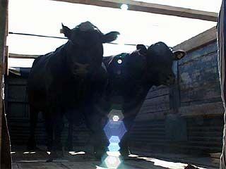 В Таловском районе от бешенства умер бык