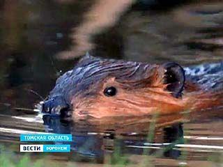В Томской области хотят истребить воронежских бобров