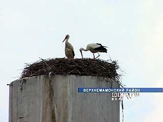 В Верхнемамонском районе сразу несколько сел радуются прилету аистов