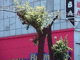 В Воронеже деревья губит не стихия, а человек