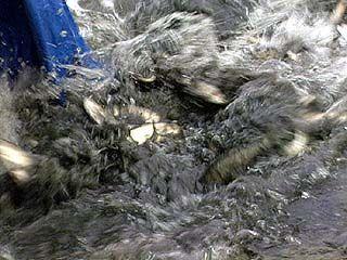 В Воронежское водохранилище выпустят несколько тонн малька