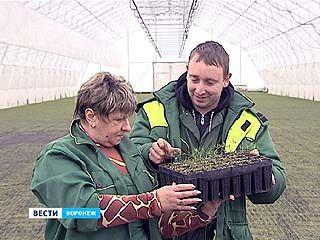 В воронежском лесничестве сосны выращивают по новой технологии