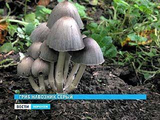 В воронежском лесу появился редкий вид грибов - навозники