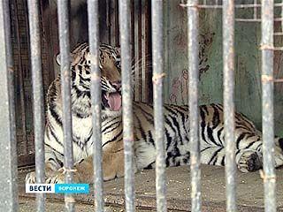 В Воронежском зоопарке наступила весна - тигрице прописали успокоительное
