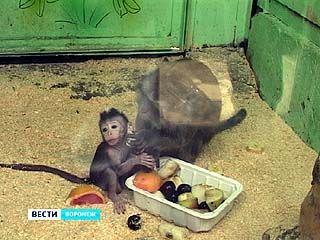 В Воронежском зоопарке у макак-крабоедов появилось потомство