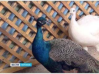 В Воронежском зоопарке уникальный случай - павлин вылупился в инкубаторе
