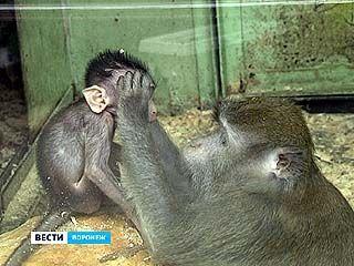 В Воронежском зоопарке в семействе яванских макак появился детеныш