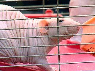 В воронежском зоосаде появились лысые крысы