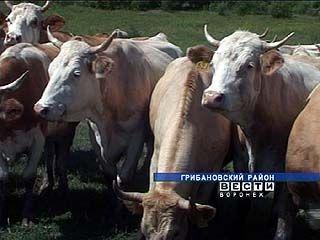 В Воронежской области беспокоятся о сокращении поголовья скота