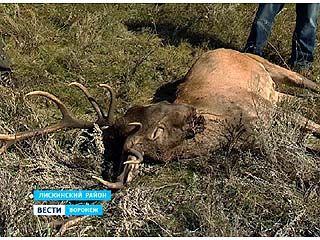 В Воронежской области браконьеры убили благородного оленя