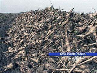 В Воронежской области идет уборка сахарной свеклы