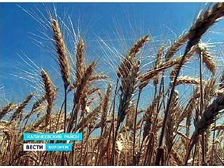 В Воронежской области начинают подсчитывать урожай этого года