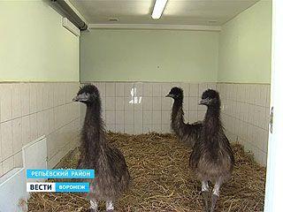 В Воронежской области разводят австралийских Эму