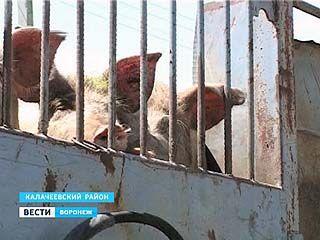 В Воронежской области разворачиваются бои за свиней в зоне африканской чумы